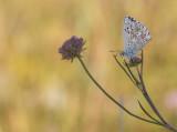 Bleekblauwtje2.jpg