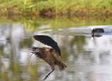 Zwarte ibis3.jpg