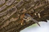 Black-capped Chickadee excavating a nest cavity