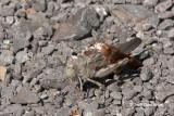 Grasshoppers & Katydids (Orthoptera)
