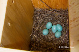 Eastern Bluebird Eggs: Now We Have 5