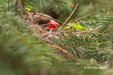 Northern Cardinal (female) on Nest