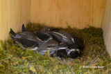 Black-capped Chickadee Nestlings