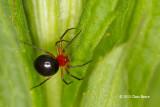 Dwarf Spider (Hypselistes florens)
