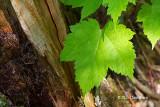 Mountain Maple Leaf