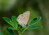 Klein Tijgerblauwtje - Lang's Short-tailed Blue