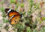 Kleine Monarchvlinder - Plain Tiger