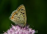 Bruine Vuurvlinder - Sooty Copper