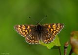 Sleutelbloemvlinder - Duke of Burgundy