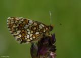 Steppeparelmoervlinder - Nickerl's Fritillary