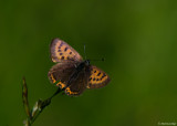 Blauwe Vuurvlinder - Violet Copper