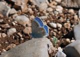 Turkoois Blauwtje - Turquoise Blue