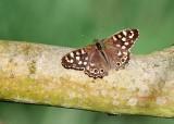 Bont Zandoogje - Speckled Wood