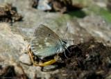 Alpenblauwtje - Alpine Argus