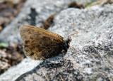 Gletsjervlinder - Alpine Grayling