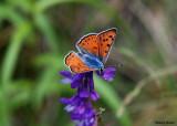 Violette Vuurvlinder - Purple Shot Copper