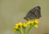 Bruin Zandoogje - Meadow Brown