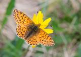 Bergparelmoervlinder - Mountain Fritillary