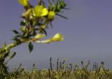 Teunisbloemen Rottumeroog