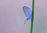 Zuidelijk Dwergblauwtje - Osiris Blue