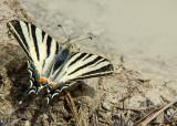 Koningspage - Scarce Swallowtail
