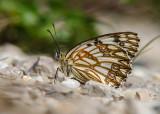 Zuidelijke Dambordje - Esper's Marbled White
