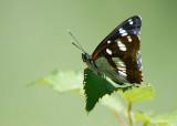 Blauwe IJsvogelvlinder - Southern White Admiral