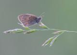 Hooibeestje - Small Heath