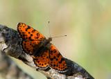 Tweekleurige Parelmoervlinder - Spotted Fritillary