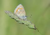 Esparcetteblauwtje - Chapman´s Blue
