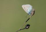 Bloemenblauwtje - Green-underside Blue