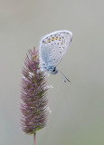 Vals Heideblauwtje - Idas Blue