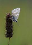 Noordelijk Manschildblauwtje - Glandon Blue