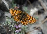 Spaanse Parelmoervlinder - Provençal Fritillary