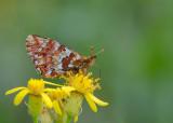 Veenbesparelmoervlinder - Cranberry Fritillary