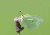 Citroenvlinder - Brimstone