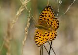 Bosrandparelmoervlinder - High Brown Fritillary