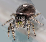 Mrs Phidippus and her babies