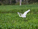 Great Egret in the Amazon