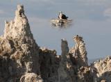 Osprey Nest on Tufa Chimney at Mono