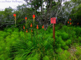 Aloes and Horsetails
