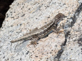 Lizard regrowing its tail