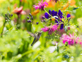 Hummingbird at purple bee balm