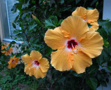 Hibiscus flowers at the Riccis