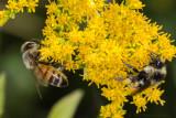 Honey Bee and Bumblebee on Goldenrod