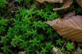 Sphagnum moss and beech leaf