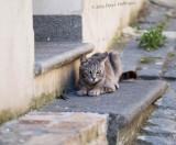 Cat playing with lizard in Bracciano