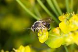 Bee on Spurge