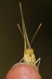 Sulfur Butterfly on fingertip