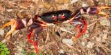 Toxic land crab